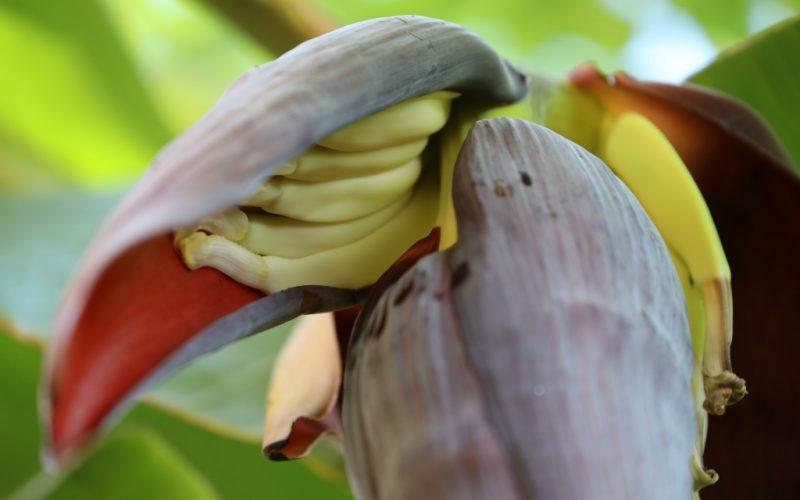 Togo Bananen1024